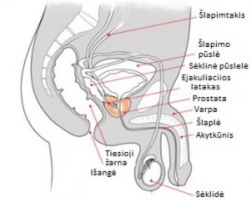 ar hormonai veikia erekciją mastikos varpos